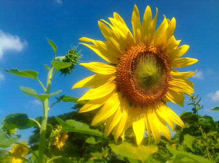 polen: Sun flower blooming on field in day time.