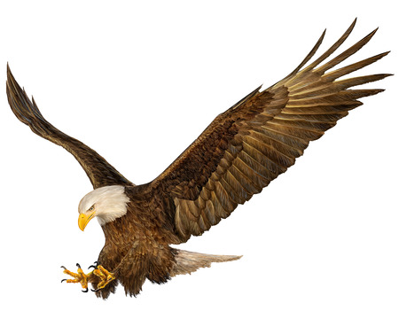 Bald eagle swoop hand draw and paint on white background vector illustration.