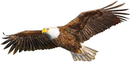 aguila volando: dibujar la mano calva águila volando y pintura sobre fondo blanco ilustración vectorial.