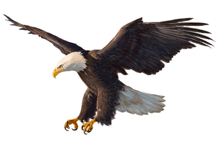 Eagle swoop hand draw and paint on white background vector illustration.