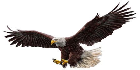 bald: dibujar la mano calva águila volando y pintura sobre fondo blanco ilustración vectorial.