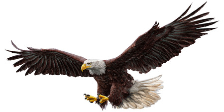 Bald eagle flying hand draw and paint on white background vector illustration.