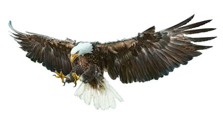 Pygargue à tête blanche oiseau ailé volant swoop et de la peinture sur fond blanc illustration.