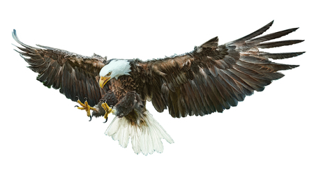 Bald eagle bird winged flying swoop  and paint on white background illustration.