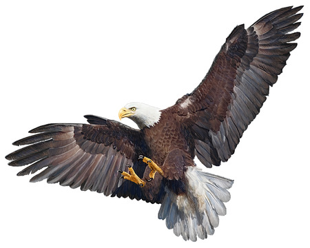 Eagle bird flying swoop  on white background illustration.