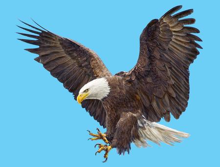 swoop: Bald eagle landing swoop  and paint on blue sky background illustration.