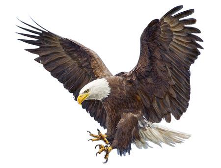 dibujo: Calva águila sola vez aterrizaje y pintura sobre fondo blanco ilustración. Foto de archivo