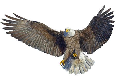 Bald Eagle vliegen landing en verf op een witte achtergrond afbeelding.