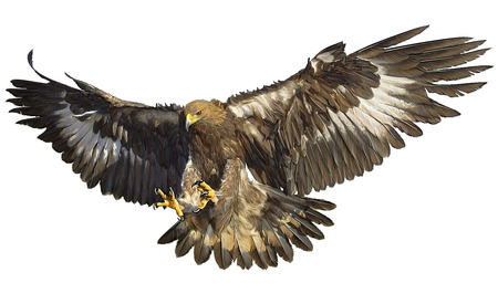 Golden eagle landing on white background illustration.