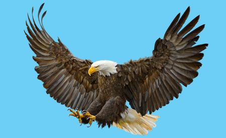 swoop: Bald eagle swoop landing  on blue background illustration.
