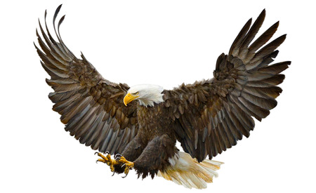 Bald eagle swoop landing on white background illustration. Stock Photo