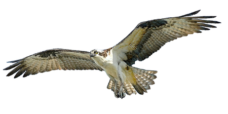 swoop: Osprey hawk winged flying and paint on white background illustration.