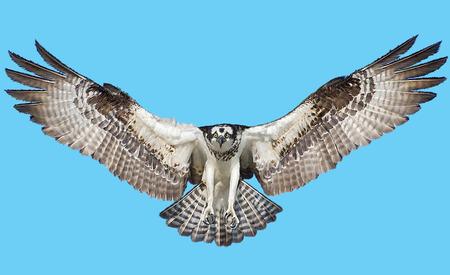 osprey: Osprey hawk winged landing and paint on blue background illustration.