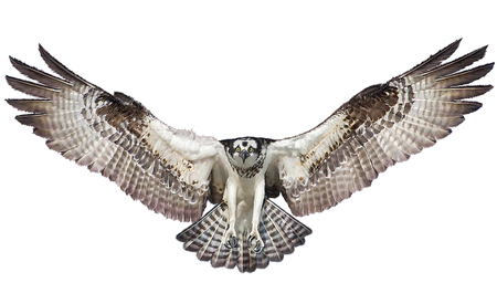 Osprey hawk winged landing w and paint on white background illustration.