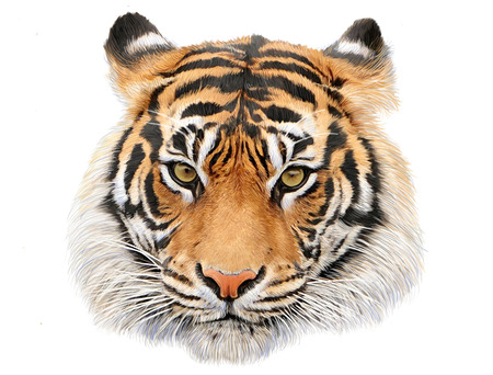 Tiger head hand draw and paint color on white background illustration. Stock Photo