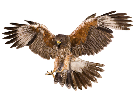 Falcon landing swoop hand draw and paint color on white background illustration. 스톡 콘텐츠