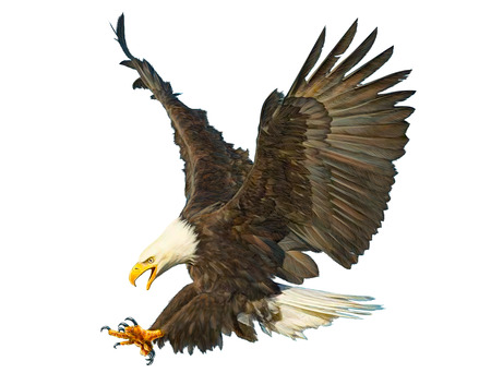 Bald eagle swoop attack hand draw and paint color on white background illustration.