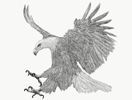 Bald eagle swoop attack hand draw monochrome on white background illustration.