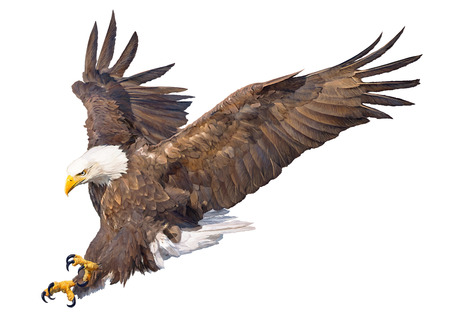 Bald eagle swoop attack hand draw and paint on white background animal wildlife vector illustration.
