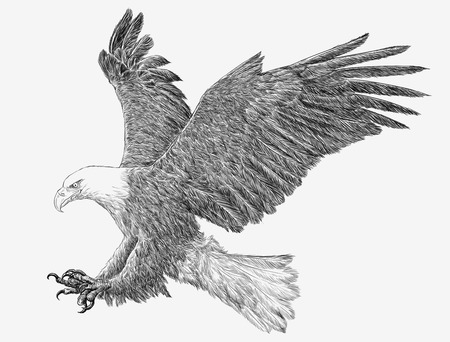 Bald eagle flying swoop hand draw monochrome on white background illustration.