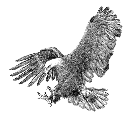 Bald eagle swoop attack hand draw sketch black line on white background illustration. Stock Photo