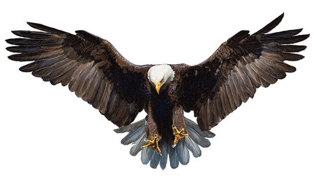 Bald eagle landing hand draw and paint on white background illustration.