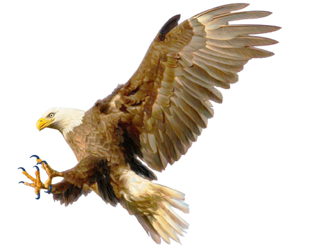 Bald eagle landing attack hand draw and paint color on white background illustration.