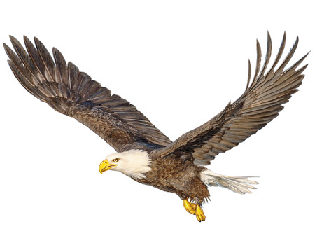 Bald eagle flying hand draw and paint color on white background illustration. Banque d'images