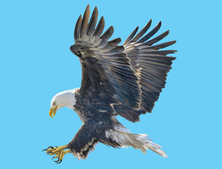 Bald eagle swoop attack hand draw and paint color on blue background illustration.