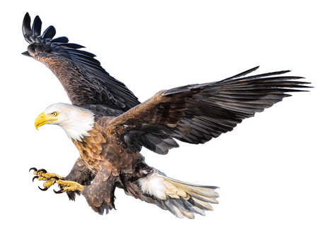 Bald eagle flying attack hand draw and paint color on white background illustration.