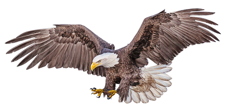 Bald eagle flying swoop hand draw and paint color on white background illustration. Stock Photo
