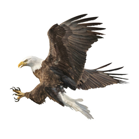 Bald eagle attack swoop hand draw and paint color on white background illustration. Vectores