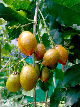 Peanut butter fruit (Bunchosia argentea) photo illustration.