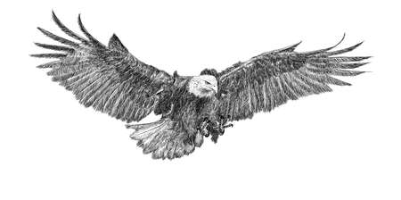 Bald eagle swoop attack hand draw doodle sketch monochrome on white background illustration.