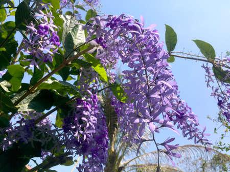 Sandpaper vine, Queens Wreath, Purple Wreath flower blooming in my garden photo. 免版税图像