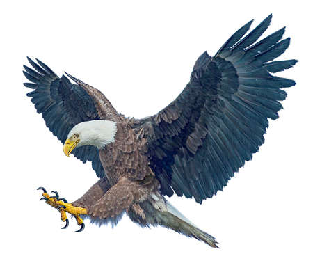 Bald eagle winged flying swoop attack hand draw and paint on white background illustration.