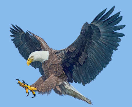 Bald eagle winged flying swoop attack hand draw and paint on blue sky background illustration.