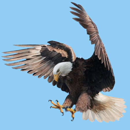 Bald eagle landing swoop attack hand draw and paint on blue sky background illustration.