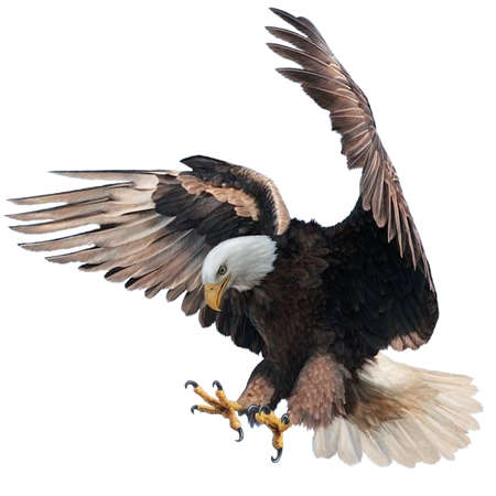Bald eagle landing swoop attack hand draw and paint on white background illustration.