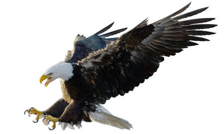 Bald eagle landing swoop attack hand draw and paint on white background illustration. Stockfoto