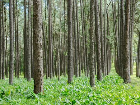 Tall of tree in wood forest on green grass located north of Thailand