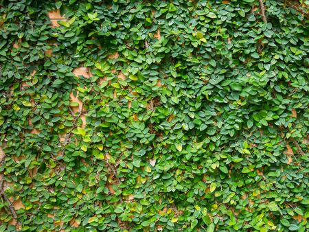 Green leaf growth cover brick wall as background 版權商用圖片