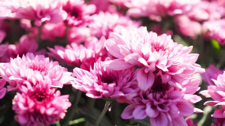 Backdrop with a beautiful blooming pink flower garden, springtime with chrysanthemum flower field.