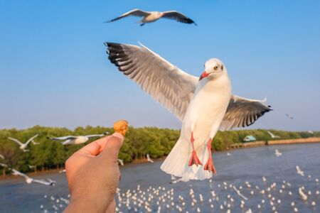 To feed seagulls by sea, group of seagulls by the sea are flying freely Banco de Imagens