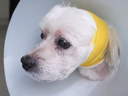 Sick dog wearing a funnel collar to prevent wounds on head.
