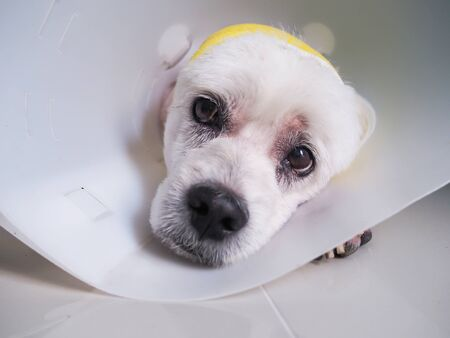 old dog is sleeping with a bandage on the head wearing a funnel collar for protection, Health of pets sick and painful.