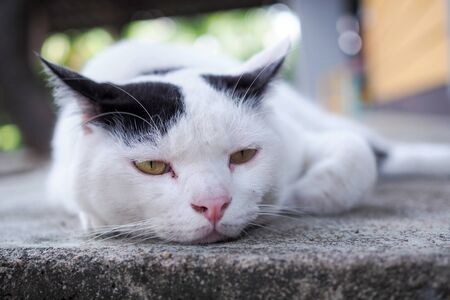sick white cat sleeping with exhaustion, Health care and illness of pet.