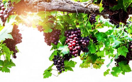 Close-up of bunches of red grapes and green leaves on tree in vineyard. Fresh fruit in garden.