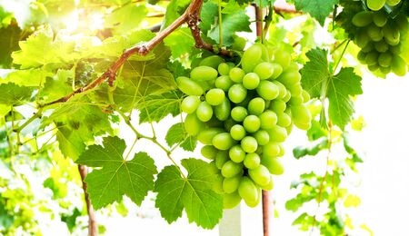Bunches of green grapes in vineyard.