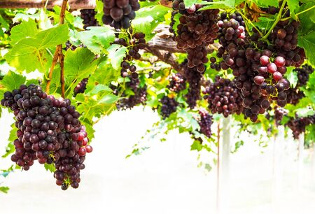 Fruit grapes on trees that have branches and leaves in vineyard.